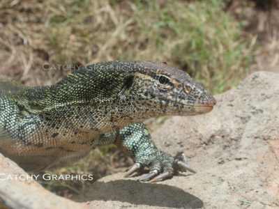 lizard-1 copy