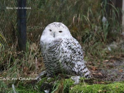 owl-1 copy