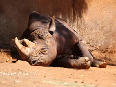 rhino-1 copy